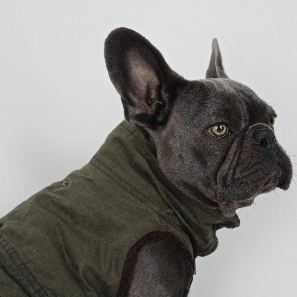 Windsor Jacket For French Bulldog Dogissimo