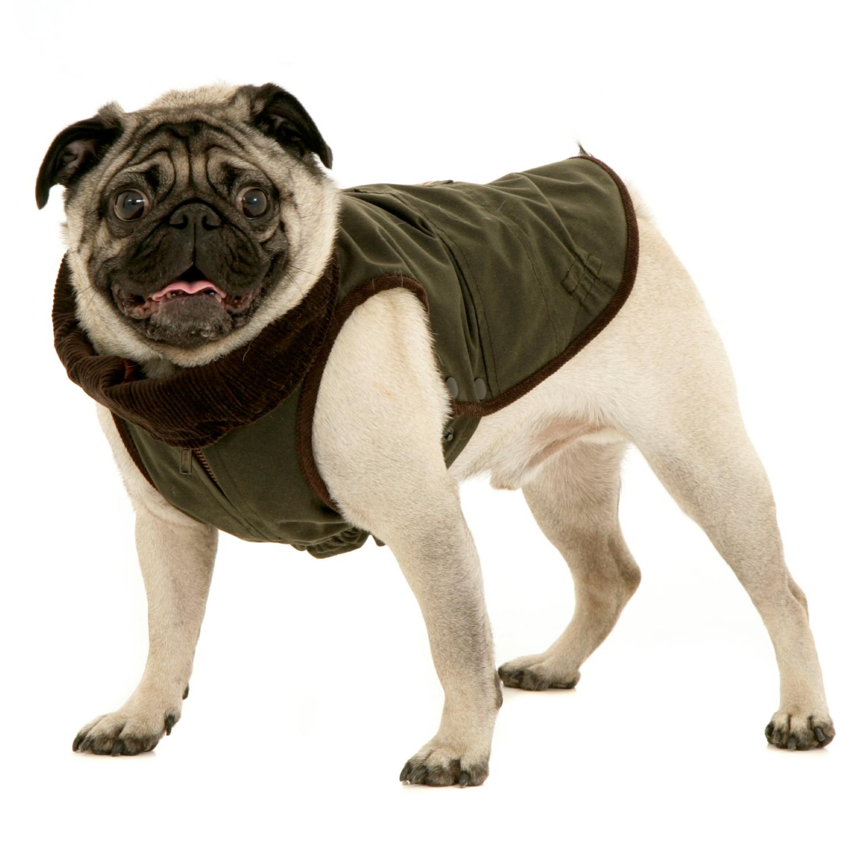 Windsor Jacket For Pug Mops Dogissimo