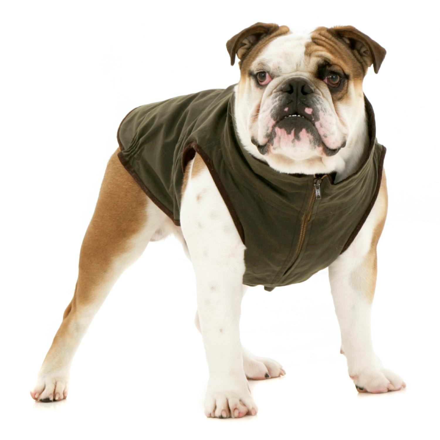 Windsor Jacket For Bulldog Dogissimo